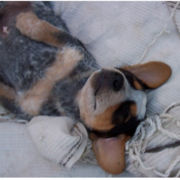 Blue Heeler puppy in deep sleep on its back.PNG