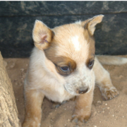 Blue Heeler puppy in tan color.PNG