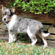 Blue Heeler puppy in the garden.PNG