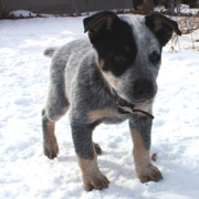 Blue Heeler puppy on the snow.PNG