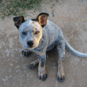 Blue Heeler puppy photos.PNG