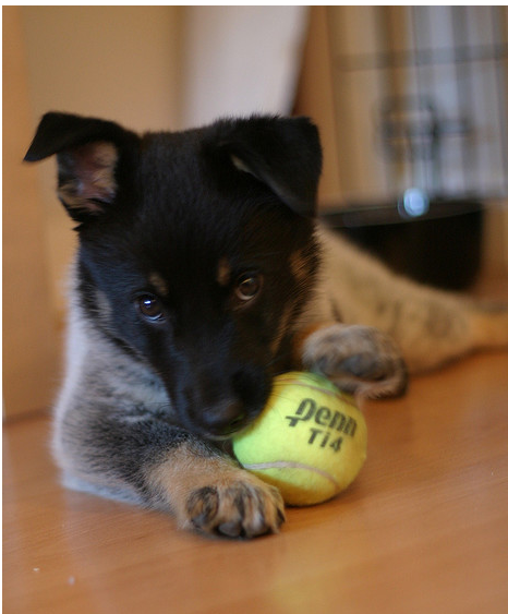 Blue Heeler puppy playing with a tennis ball.PNG