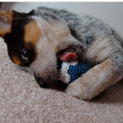 Blue Heeler puppy playing with its cute toy.PNG