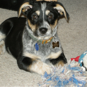 Blue Heeler puppy playing with its dog toys.PNG