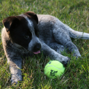 Blue Heeler puppy playing with its tennis on the grass.PNG