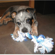 Blue Heeler puppy playing with its toy.PNG
