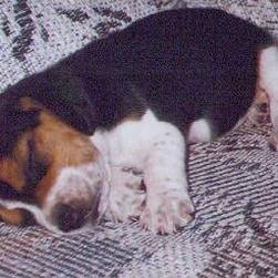 beagle pup_sleeping.jpg