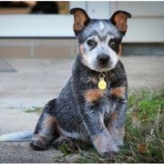 Blue Heeler puppy posting for the camera shot.PNG