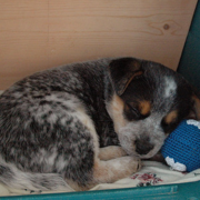 Blue Heeler puppy sleeping next to its blue ball dog toy.PNG