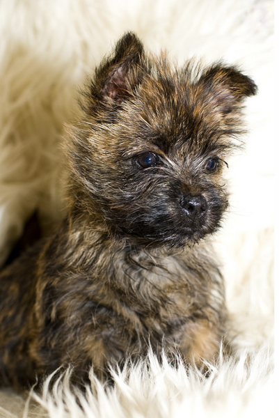 Beautiful puppy picture of a Cairn Terrier puppy.PNG