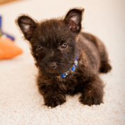 Cairn Terrier Puppies Pictures