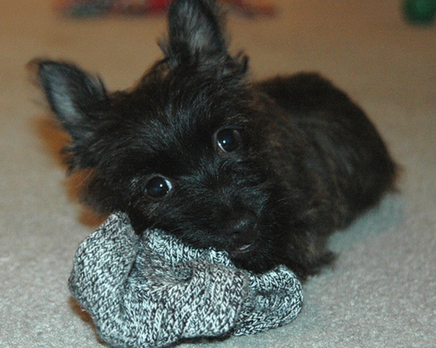 A black Cairn Terrier puppy.PNG