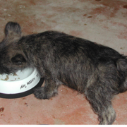 A hungry Cairn Terrier puppy eating.PNG