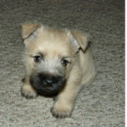Adorable puppy photo of a Cairn Terrier puppy in tan with black nose.PNG