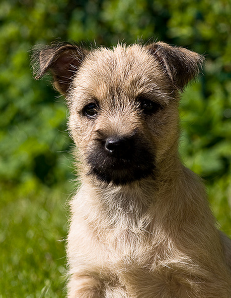 Cairn Terrier dog pictures.PNG