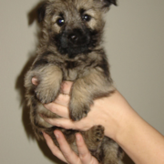 Cairn Terrier mix puppy.PNG