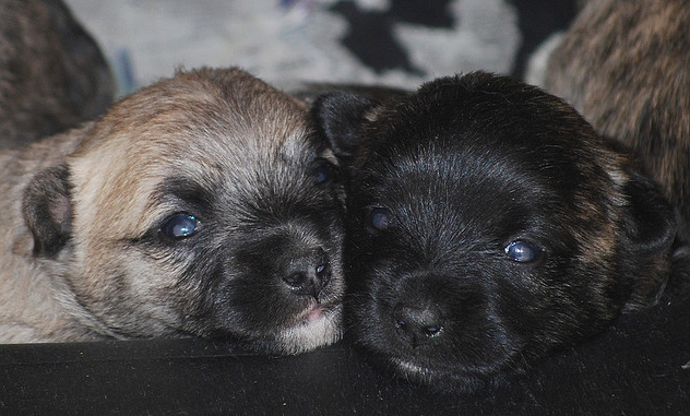 Cairn Terrier puppies photo.PNG