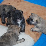 Cairn Terrier puppies pictures.PNG