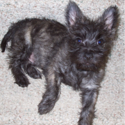 Cairn Terrier puppy in black and grey.PNG