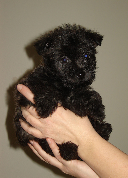 Cairn Terrier puppy in black.PNG