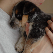 Blue Heeler puppy_hugging time very cute.PNG