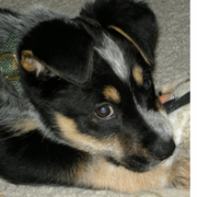 Close of image of a Blue Heeler puppy dog.PNG