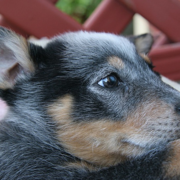 Close up picture of a Blue Heeler puppy.PNG