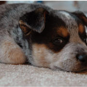 Close up picture of puppy face of a Blue Heeler dog.PNG