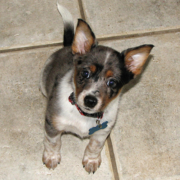 Cute Blue Heeler puppy looking up to the camera.PNG