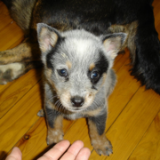 Cute dog photo of a young Blue Heeler puppy.PNG