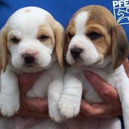 beagle puppies in tan and white, brown and white.jpg