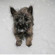 Cairn Terrier puppy in snow.PNG