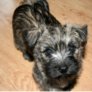 Cairn Terrier puppy looking up to the camara.PNG
