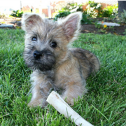 Cairn Terrier puppy on the grasss.PNG