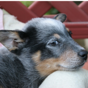 Cute dog picture of a Blue Heeler puppy.PNG