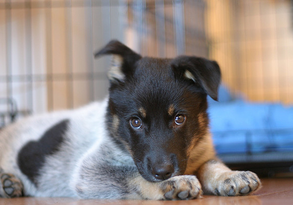 Cute picture of a Blue Heeler puppy.PNG