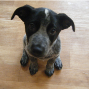 Cute puppy face looking up to the camera_Blue Heeler dog in grey and black.PNG
