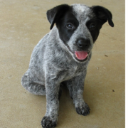Image of a Blue Heeler puppy in three toned colors with black, grey and white.PNG