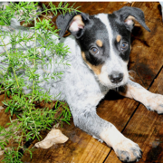 Image of Blue Heeler puppy.PNG