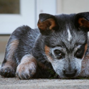 Interesting looking puppy picture of a Blue Heeler puppy.PNG