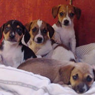 beagle puppies.jpg