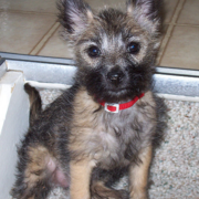 Cairn Terrier puppy photo.PNG