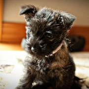 Cairn Terrier puppy picture.PNG