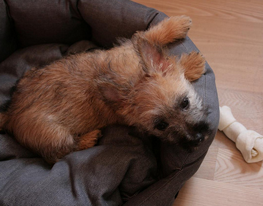 Cairn Terrier puppy pictures.PNG