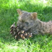 Cairn Terrier puppy playing in the garden.PNG