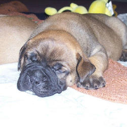 bullmastiff pup_cute