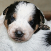 Newborn Blue Heeler puppy pictures.PNG