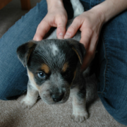 Picture of a cute young puppy Blue Heeler dog.PNG