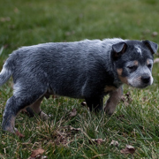 Picture of a puppy walking on grass_Australian Blue Heeler dog.PNG