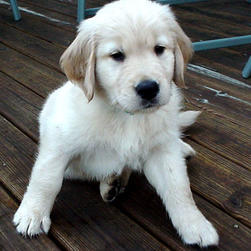 Golden Retriever1